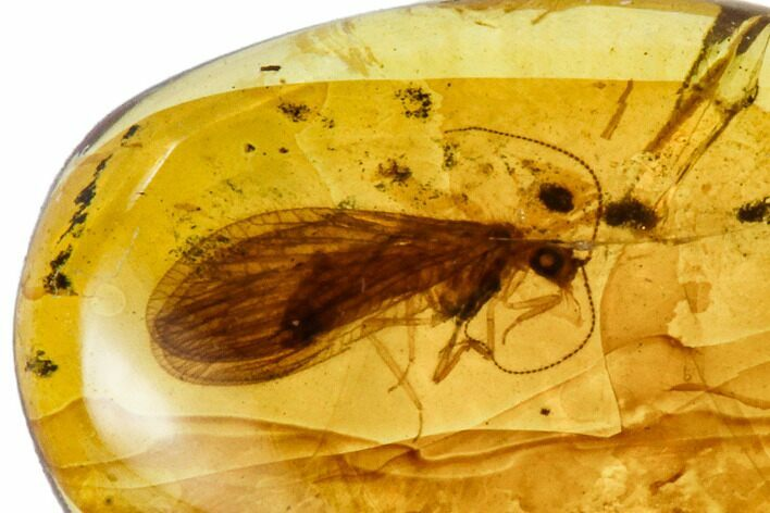 Fossil Lacewing (Neuroptera) In Amber - Myanmar