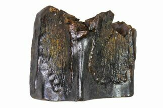 ".28"" Fossil Hadrosaur (Edmontosaurus) Shed Tooth- Montana For Sale, #110930"