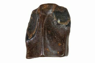 Edmontosaurus annectens - Fossils For Sale - #110967