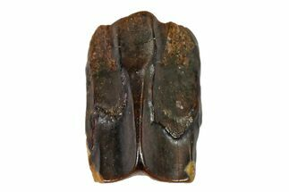 ".25"" Fossil Hadrosaur (Edmontosaurus) Shed Tooth- Montana For Sale, #110987"