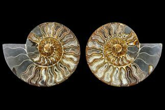 Cleoniceras - Fossils For Sale - #113067