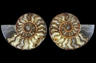 Cleoniceras - Fossils For Sale - #113070
