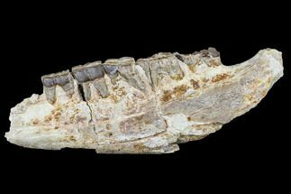 Hyracodon nebraskensis - Fossils For Sale - #113076