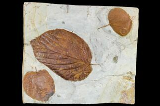 Three Fossil Leaves (Beringiaphyllum, Zizyphoides) - Montana For Sale, #113141