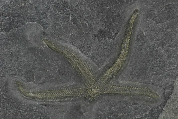 "3.1"" Pyritized Starfish (Urasterella) - Bundenbach, Germany"