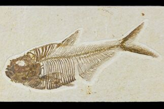 "Detailed, 5"" Fossil Fish (Diplomystus) Plate - Wyoming For Sale, #113297"