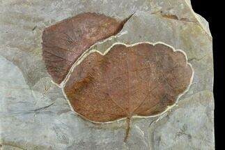 Buy Two Fossil Leaves (Zizyphoides And Davidia) - Montana - #113221