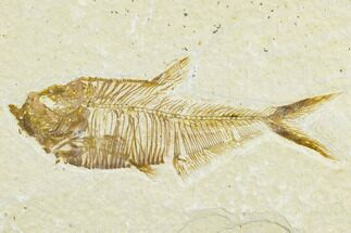"2.5"" Detailed Fossil Fish (Diplomystus) - Wyoming For Sale, #113567"