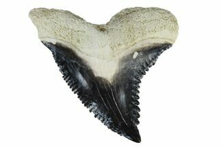 "1.43"" Fossil Shark Tooth (Hemipristis) - Bone Valley, Florida For Sale, #113807"