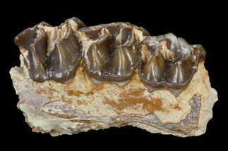 Hyracodon nebraskensis - Fossils For Sale - #113610