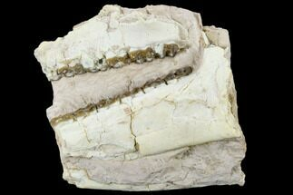 "3.4"" Oreodont (Merycoidodon) Jaw Section - Wyoming For Sale, #114029"