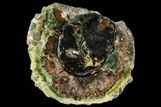 "8.3"" Green Petrified Wood Round - Hampton Butte, Oregon For Sale, #114461"