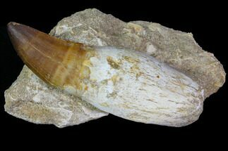 "Buy 4.25"" Rooted Mosasaur (Prognathodon) Tooth - #114484"