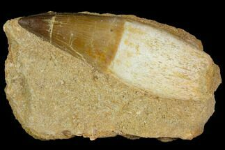 "3.4"" Rooted Mosasaur (Prognathodon) Tooth For Sale, #114485"