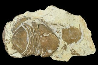 Homotelus bromidensis - Fossils For Sale - #114507