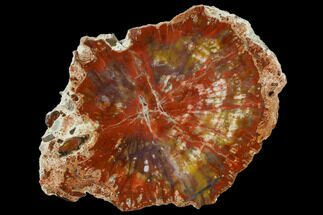 "7.9"" Polished Petrified Wood (Araucaria) Round - Arizona For Sale, #114509"