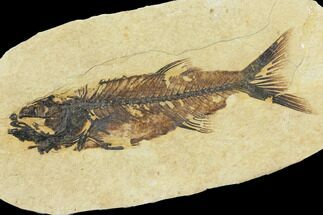 Mioplosus labracoides - Fossils For Sale - #115080