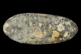 "Buy 1.7"" Agatized Seed Cone (Or Aggregate Fruit) - Morocco - #114556"