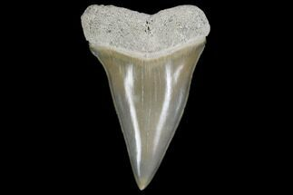 "1.63"" Fossil Mako (Isurus) Tooth - Bone Valley, Florida For Sale, #113855"