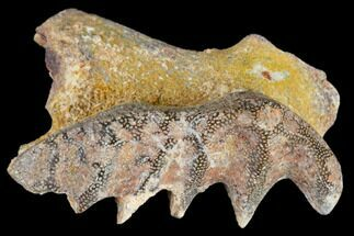 Ceratodus sp.  - Fossils For Sale - #115269