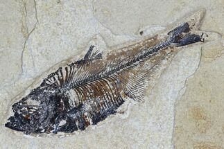 "Buy 4.9"" Fossil Fish (Diplomystus) - Green River Formation - #115570"