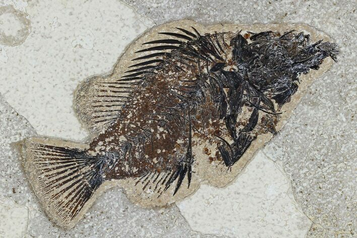 "Bargain, 5.3"" Fossil Fish (Cockerellites) - Green River Formation"