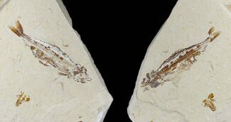 Prionolepis sp. - Fossils For Sale - #115743