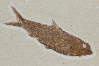 "Buy 2.25"" Detailed Fossil Fish (Knightia) - Wyoming - #115096"