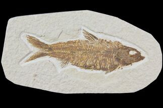 "Buy 3.6"" Detailed Fossil Fish (Knightia) - Wyoming - #115111"