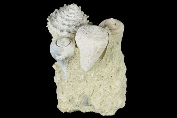 "3.5"" Tall, Miocene Fossil Gastropod Cluster - France"