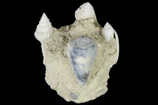 "Buy 3.5"" Tall, Miocene Fossil Gastropod Cluster - France - #113722"