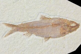 "Buy 4"" Detailed Fossil Fish (Knightia) - Wyoming - #116773"