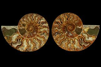 Cleoniceras - Fossils For Sale - #116784