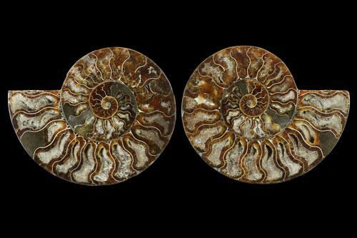 Cut/Polished Ammonite Fossil