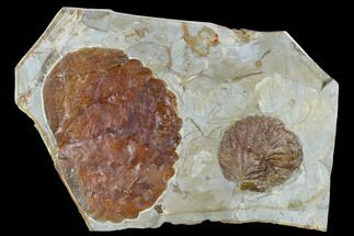 Buy Two Fossil Leaves (Zizyphoides And Davidia) - Montana - #115252