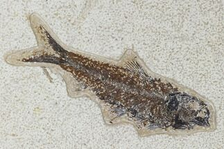 "Buy 5.7"" Fossil Fish (Knightia) - Green River Formation - #113983"