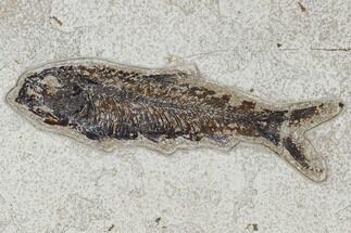 "Buy 5.4"" Fossil Fish (Knightia) - Green River Formation - #114001"