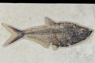 "8.0"" Fossil Fish (Diplomystus) - Green River Formation For Sale, #117137"