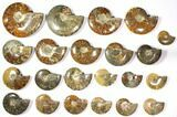 "Wholesale Lot: 3 to 7.2"" Polished Ammonite Fossils 22 pieces - #116591-1"