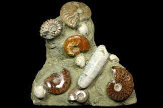 "9.5"" Tall, Composite Ammonite Fossil Sculpture For Sale, #117485"