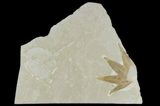 Buy Fossil Sycamore And Maple Leaves - Green River Formation, Utah - #117988