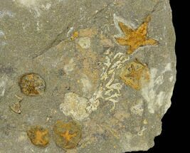 Fossil Starfish (Petraster) & Edrioasteroids (Spinadiscus) - Morocco For Sale, #118073
