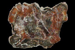 "Buy 7.0"" Triassic Petrified Wood (Araucaria) Slab - Circle Cliffs, Utah - #118054"
