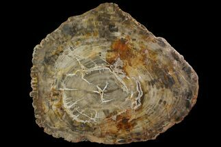 "19.6"" Petrified Wood (Araucaria) Round - Madagascar  For Sale, #118532"