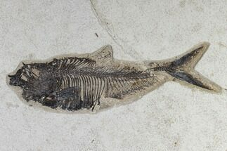 "10.5"" Fossil Fish (Diplomystus) - Green River Formation For Sale, #119462"