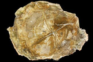 "Buy 9.5"" Petrified Wood (Araucaria) Slab - Madagascar  - #118717"