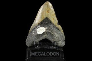 "5.22"" Fossil Megalodon Tooth - North Carolina For Sale, #119438"