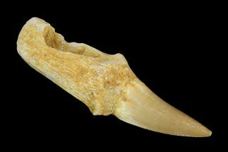 "Buy 2.3"" Fossil Rooted Mosasaur (Eremiasaurus) Tooth - Morocco - #117007"