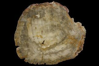 "7.4"" Petrified Wood (Araucaria) Slab - Madagascar  For Sale, #118847"