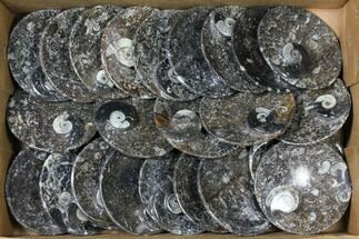 "Wholesale Lot: 4.5"" Round Dishes With Goniatite Fossils - 23 Pieces For Sale, #119369"